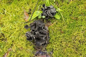 Чёрные грибы