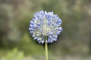 Цветок чеснока